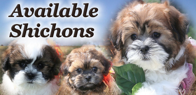 Adorable Shichon Puppies or Teddy Bear Puppies for sale!