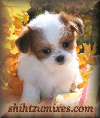 Malshi Puppies for Sale in Chicago area